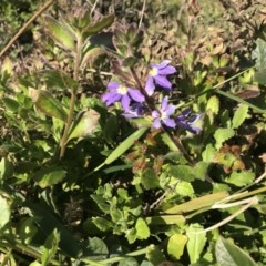Scaevola aemula (Common Fan-flower) at Tathra, NSW - 22 Aug 2020 by Rose
