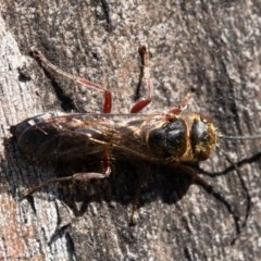 Thynninae sp. (subfamily) (Smooth flower wasp) at Hawker, ACT - 24 Aug 2020 by Roger