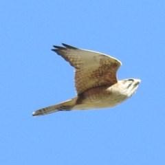 Falco berigora (Brown Falcon) at Tuggeranong DC, ACT - 24 Aug 2020 by HelenCross