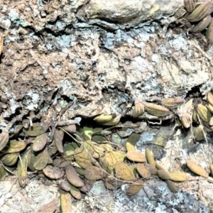 Dendrobium linguiforme at Bamarang Nature Reserve - 25 Aug 2020