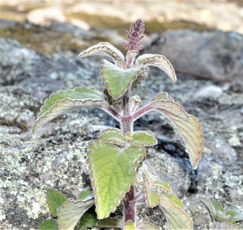 Plectranthus graveolens at Bamarang Nature Reserve - 25 Aug 2020