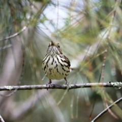 Pyrrholaemus sagittatus (Speckled Warbler) at Urana Road Bushland Reserves - 22 Aug 2020 by Damian Michael