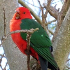 Alisterus scapularis (Australian King-Parrot) at Molonglo Valley, ACT - 24 Aug 2020 by RodDeb