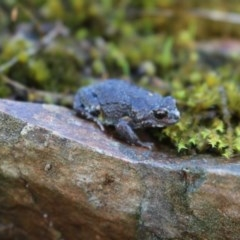 Pseudophryne bibronii (Brown Toadlet) at West Albury, NSW - 25 Apr 2017 by Damian Michael