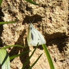 Pieris rapae (Cabbage White) at Aranda, ACT - 24 Aug 2020 by KMcCue
