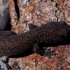 Christinus marmoratus (Southern Marbled Gecko) at Hawker, ACT - 24 Aug 2020 by Kurt