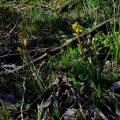 Bulbine bulbosa (Golden Lily) at Holt, ACT - 24 Aug 2020 by Kurt