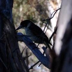 Cracticus torquatus (Grey Butcherbird) at Kama - 24 Aug 2020 by Kurt