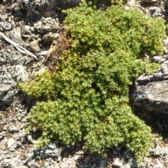 Acrotriche serrulata (Ground-berry) at Narrangullen, NSW - 1 Nov 2017 by AndyRussell