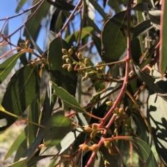 Eucalyptus rubida subsp. rubida (Candlebark) at Turallo Nature Reserve - 25 Aug 2020 by Nat