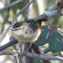 Pardalotus punctatus (Spotted Pardalote) at Red Hill Nature Reserve - 24 Aug 2020 by JackyF