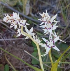 Wurmbea dioica subsp. dioica (Early Nancy) at The Pinnacle - 26 Aug 2020 by tpreston