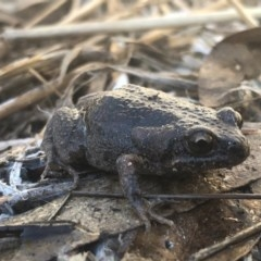Uperoleia laevigata (Smooth Toadlet) at Charles Sturt University - 25 Aug 2020 by Damian Michael