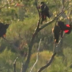 Calyptorhynchus lathami (Glossy Black-cockatoo) at Jervis Bay National Park - 5 Jul 2020 by tomtomward