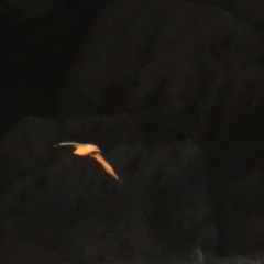 Morus serrator (Australasian Gannet) at Jervis Bay Marine Park - 6 Jul 2020 by tomtomward