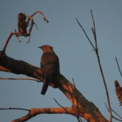 Cacomantis flabelliformis (Fan-tailed Cuckoo) at Booderee National Park - 6 Jul 2020 by tomtomward