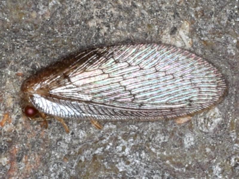Psychobiella sp. (genus) at Majura, ACT - 26 Aug 2020