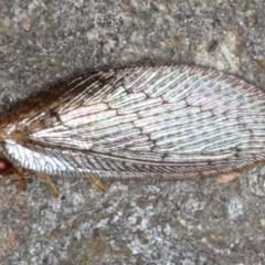 Psychobiella sp. (genus) (Brown Lacewing) at Majura, ACT - 26 Aug 2020 by jbromilow50