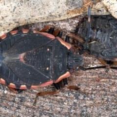 Diemenia rubromarginata (Pink-margined bug) at Majura, ACT - 20 Aug 2020 by jbromilow50