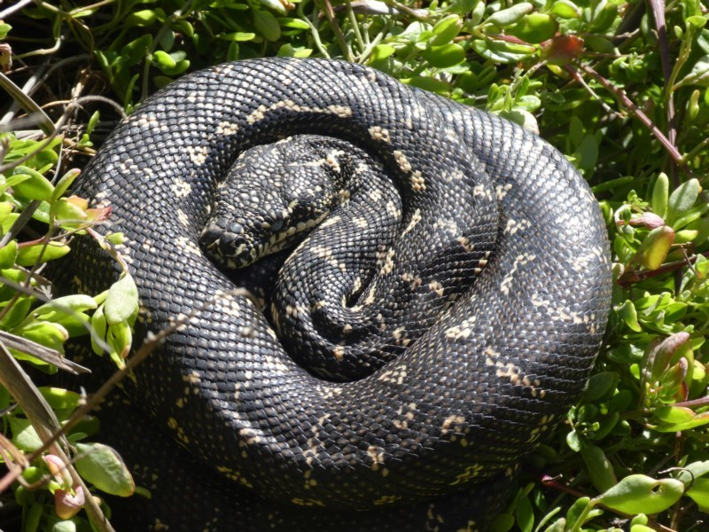 Morelia spilota spilota at Beecroft Peninsula, NSW - 22 Aug 2020