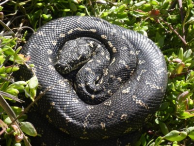 Morelia spilota spilota (Diamond Python) at Beecroft Peninsula, NSW - 21 Aug 2020 by HelenR