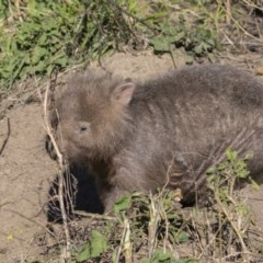 Vombatus ursinus (Wombat) at Stony Creek - 26 Aug 2020 by CedricBear