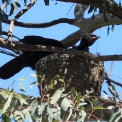 Corcorax melanorhamphos at Red Hill Nature Reserve - 27 Aug 2020