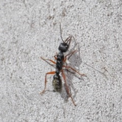 Myrmecia fulvipes (Red-legged Toothless bull ant) at ANBG - 25 Aug 2020 by TimL