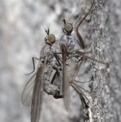 Empididae sp. (family) (Dance fly) at ANBG - 25 Aug 2020 by TimL