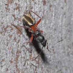 Daerlac cephalotes (Ant Mimicking Seedbug) at ANBG - 25 Aug 2020 by TimL