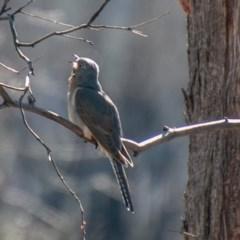 Cacomantis flabelliformis (Fan-tailed Cuckoo) at Namadgi National Park - 26 Aug 2020 by SWishart