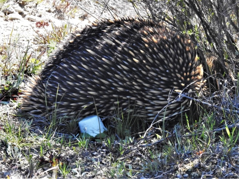 Tachyglossus aculeatus at Tralee, ACT - 27 Aug 2020