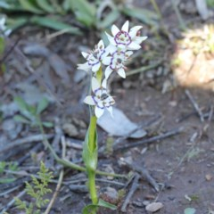 Wurmbea dioica subsp. dioica (Early Nancy) at Gossan Hill - 26 Aug 2020 by ConBoekel