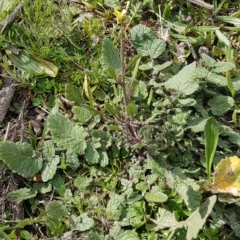 Hirschfeldia incana (Buchan Weed, Yellow Turnip Weed, Hairy Brassica) at Red Hill Nature Reserve - 27 Aug 2020 by SRoss
