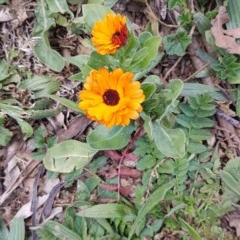 Calendula officinalis (English or Pot Marigold) at Red Hill Nature Reserve - 27 Aug 2020 by SRoss