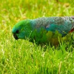 Psephotus haematonotus (Red-rumped Parrot) at Wodonga - 24 Aug 2020 by Danny J