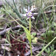 Wurmbea dioica subsp. dioica (Early Nancy) at The Pinnacle - 27 Aug 2020 by annamacdonald