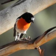 Petroica boodang (Scarlet Robin) at Namadgi National Park - 26 Aug 2020 by RodDeb