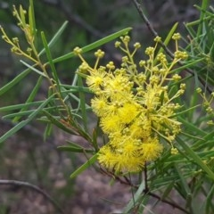 Acacia boormanii (Snowy River Wattle) at Umbagong District Park - 27 Aug 2020 by tpreston
