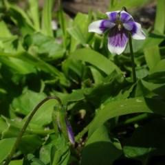 Viola banksii (Native Violet) at Nadgee Nature Reserve - 27 Aug 2020 by JackieMiles