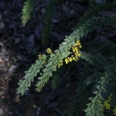 Acacia vestita (Hairy Wattle) at Bruce, ACT - 27 Aug 2020 by ConBoekel