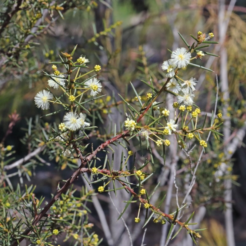 Acacia genistifolia at Gossan Hill - 27 Aug 2020