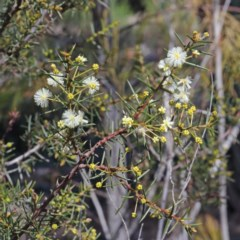 Acacia genistifolia (Early Wattle) at Gossan Hill - 27 Aug 2020 by ConBoekel