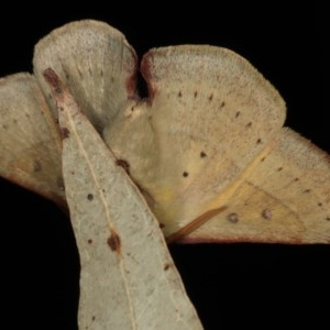 Anthela acuta at Mossy Point, NSW - 27 Aug 2020