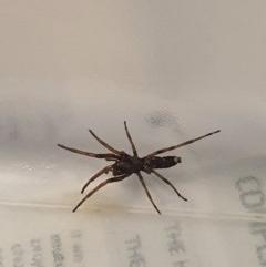 Lampona sp. (genus) (White-tailed spider) at Queanbeyan West, NSW - 1 Aug 2020 by Speedsta