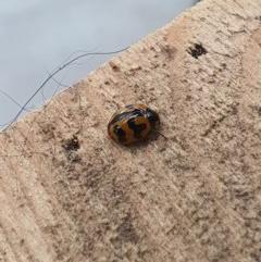 Coccinella transversalis (Transverse Ladybird) at Queanbeyan West, NSW - 8 Jul 2020 by Speedsta
