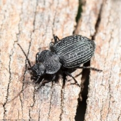 Adelium porcatum (Darkling Beetle) at Umbagong District Park - 28 Aug 2020 by Roger