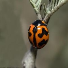Coccinella transversalis (Transverse Ladybird) at Umbagong District Park - 28 Aug 2020 by Roger