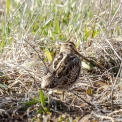 Gallinago hardwickii (Latham's Snipe) at Jerrabomberra Wetlands - 24 Aug 2020 by Roger