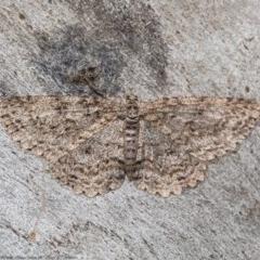 Ectropis fractaria (Ringed Bark Moth) at Umbagong District Park - 27 Aug 2020 by Roger